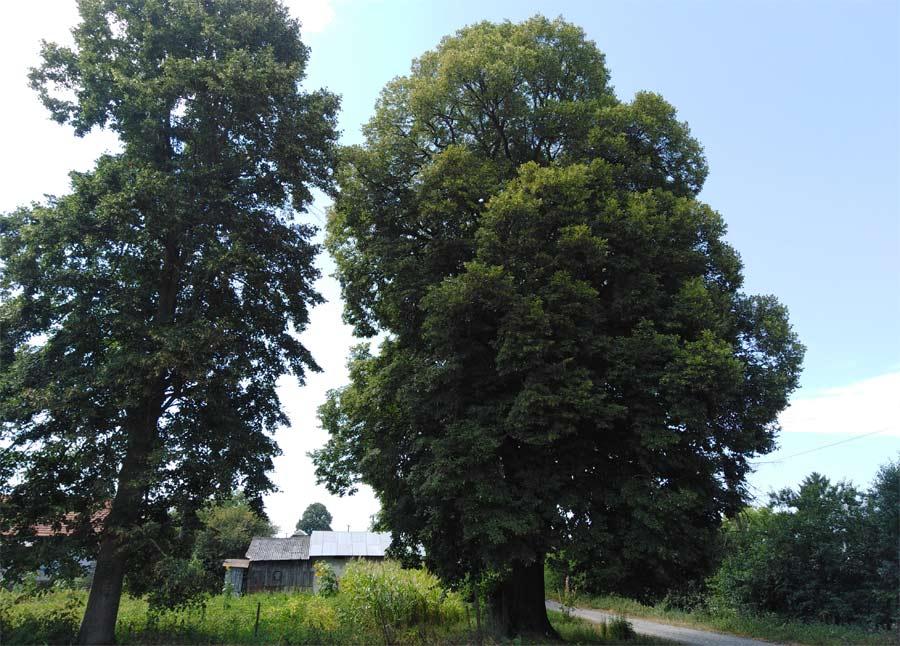 Природа села Яструбове Козівський район розповідь фото опис дерева липа